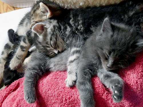 Sleeping kittens in cuddle pile