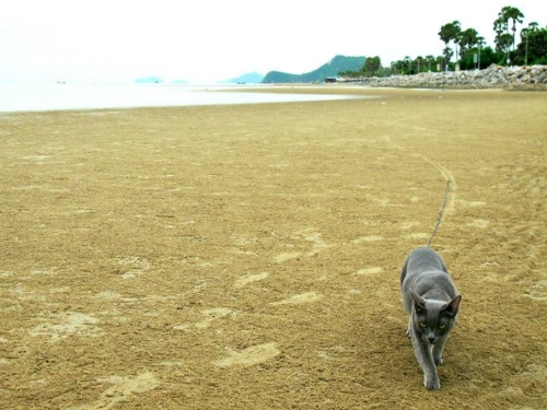 Suki the Korat on the beach