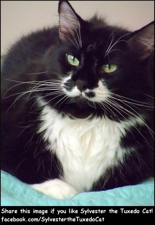 Sylvester the Tuxedo Cat