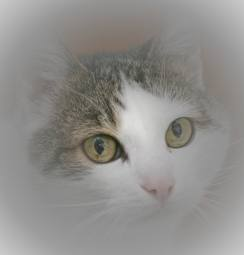 Tabby and white cat face