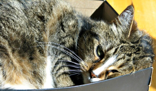 Tabby cat in shoe box