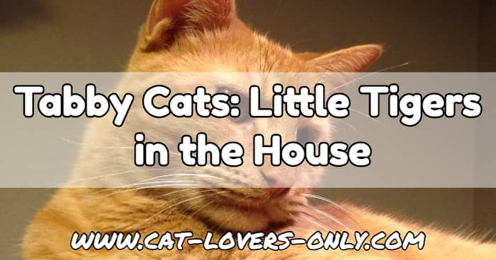 Jazzy the cat with text overlay Tabby Cats: Little Tigers in the House