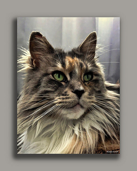Big Maine Coon Cat: Th...