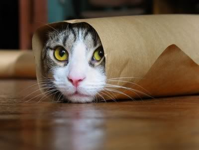 Tabby purrito in thin paper