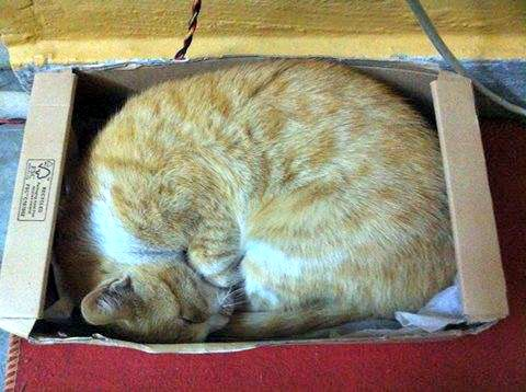 Orange tabby sleeping in a box