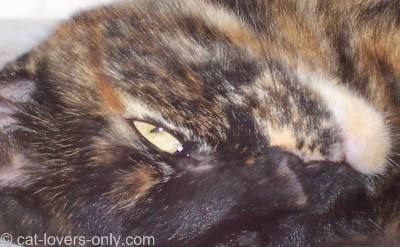 Teddie's Tortoiseshell-and-White face colors