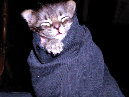 Thor as a tabby purrito