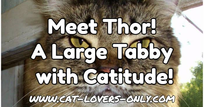 Thor the tabby with text overlay Meet Thor! A Large Tabby with Catitude!