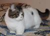 Lomax brown tabby and white