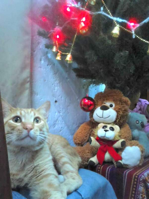 Tito the tabby and the Christmas tree