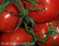 Tomatoes with green vine