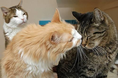 Troy Snow cat photos bicolor and tabby kiss