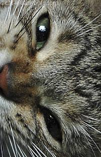 Gray tabby cat face