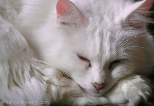 White Turkish Angora cat