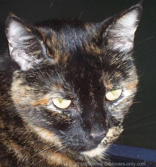 Picture of Teddie cat on laptop headshot
