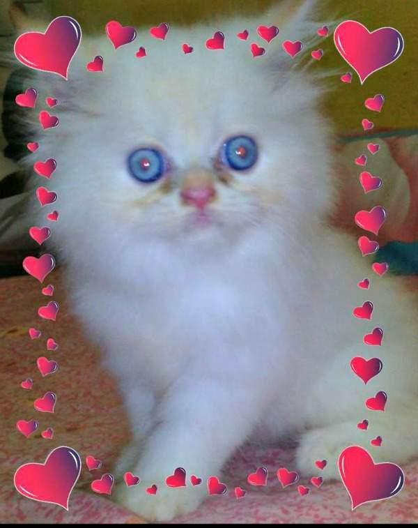 Bangjoe kitten