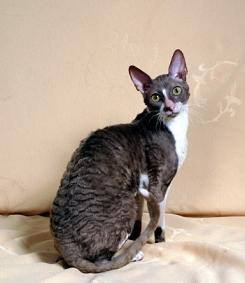 Bebops Lilac Prince Cornish Rex Cat