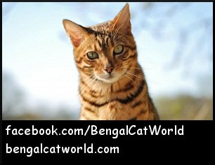 Spot from Bengal Cat World