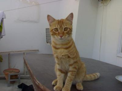 Hyper the Bengal Tabby (Tiger Cat)