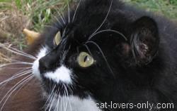 Black and white longhair cat