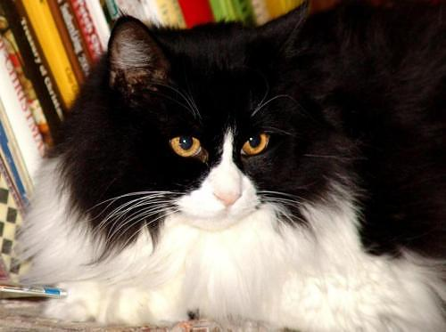 Black and white Norwegian Forest Cat Vampirella
