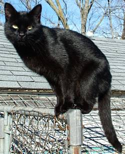 Black cat Lilith on a fence