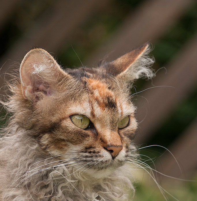 Torbie LaPerm cat