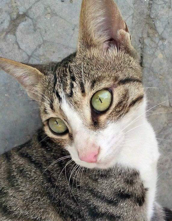 Buggi the tabby and white