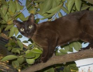 Burmese cat in a tree