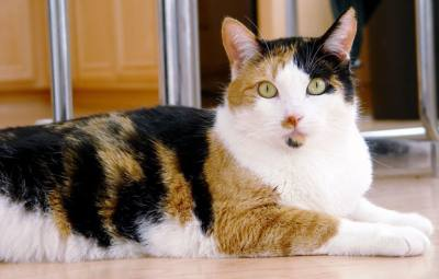 typical calico cat