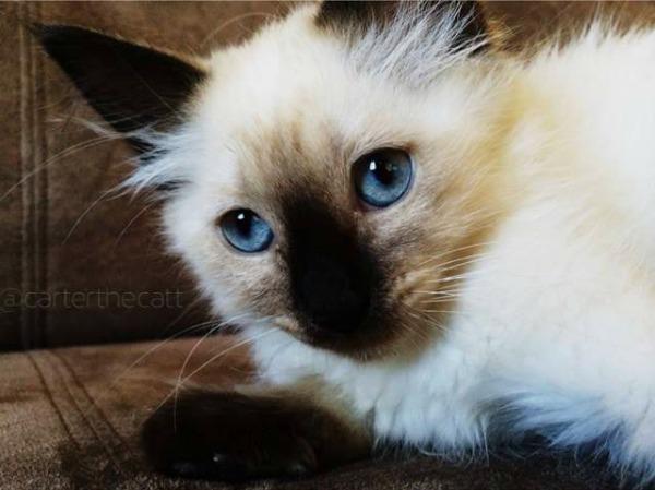 Carter the Siamese kitten