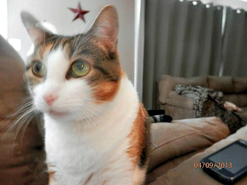 Charlotte the calico tabby and white