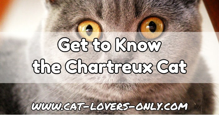 Chartreux cat face with text overlay Get to know the Chartreux cat