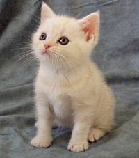 Cream cameo tabby American Shorthair kitten