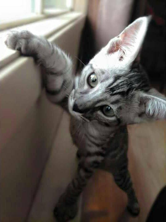 Flik the Savannah kitten