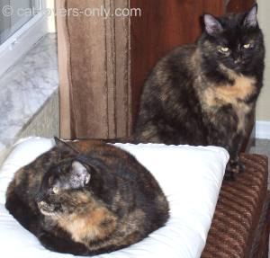 Frankie and Teddie are tortoiseshell-and-white kitties