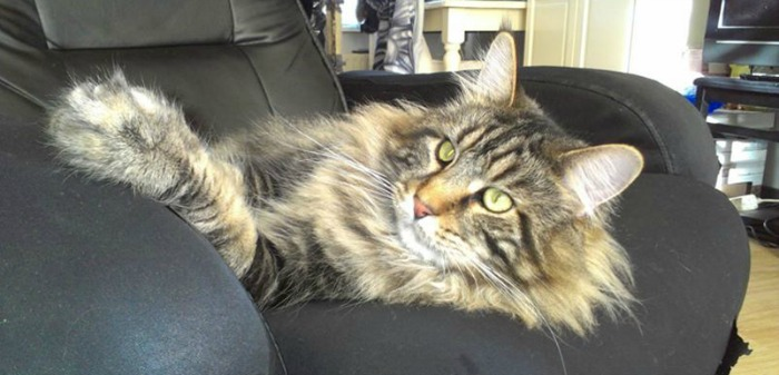 Fuzzy the Maine Coon