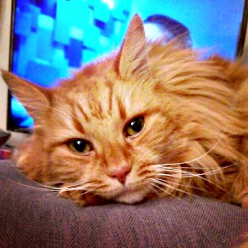 Ginger the orange tabby