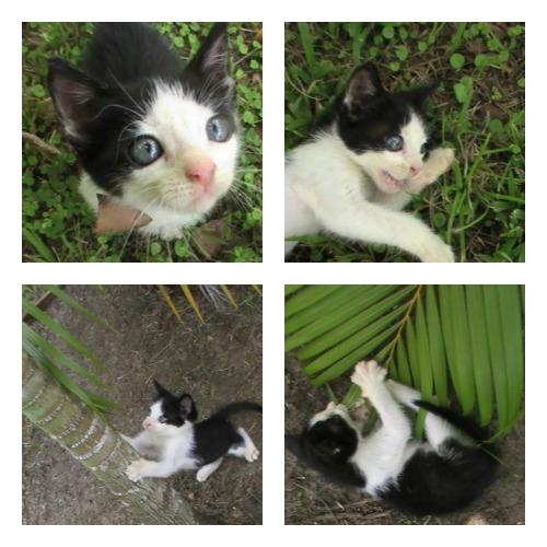 Gorbeye Man, an orphaned black and white kitten