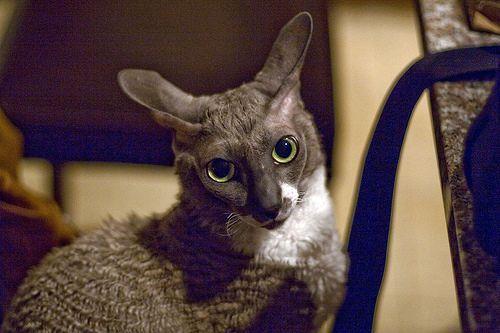 Gray and white Cornish Rex cat