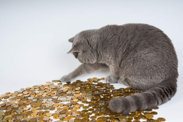 Gray cat counting money