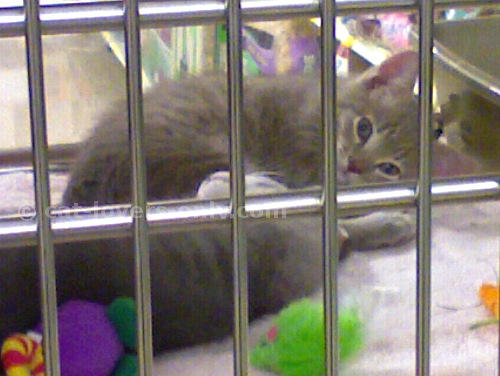 Gray tabby shelter kittens