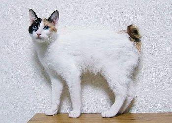 Mi-ke Japanese Bobtail
