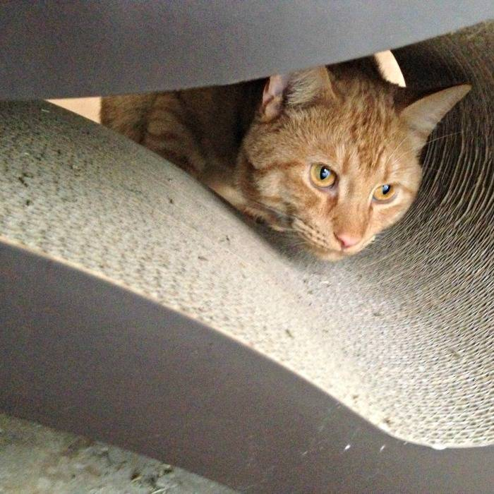 Jazzy explores the PetFusion Ultimate Cat Scratcher Lounge
