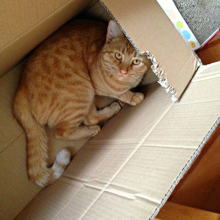 Jazzy the cat explores the PetFusion Ultimate Cat Scratcher Lounge box