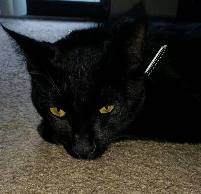Kaos the black cat
