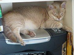 Luna the Burmilla cat
