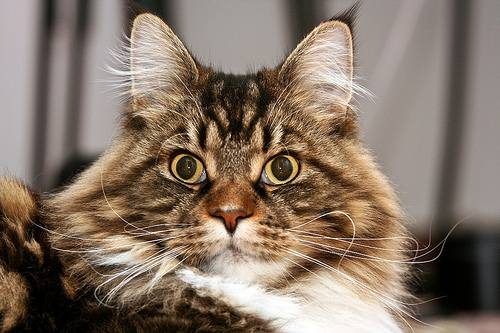 Brown tabby and white Maine Coon face with M on forehead.