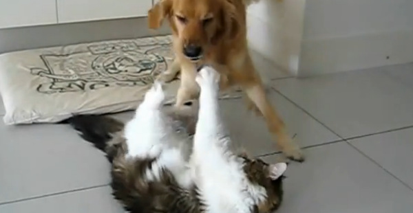 Mr Fox the Maine Coon vs Riley the Golden Retriever