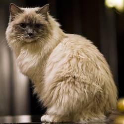 Matilda the Ragdoll Cat Algonquin Hotel NYC